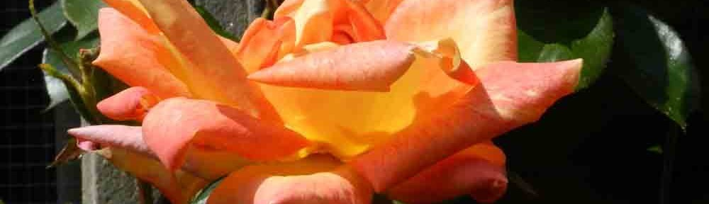 cropped-Peach-Rose.jpg