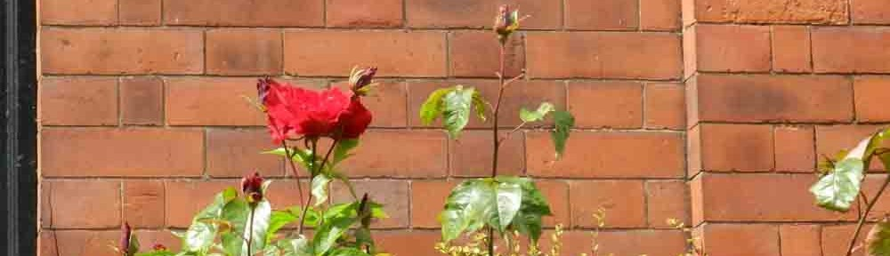 cropped-Red-Rose.jpg